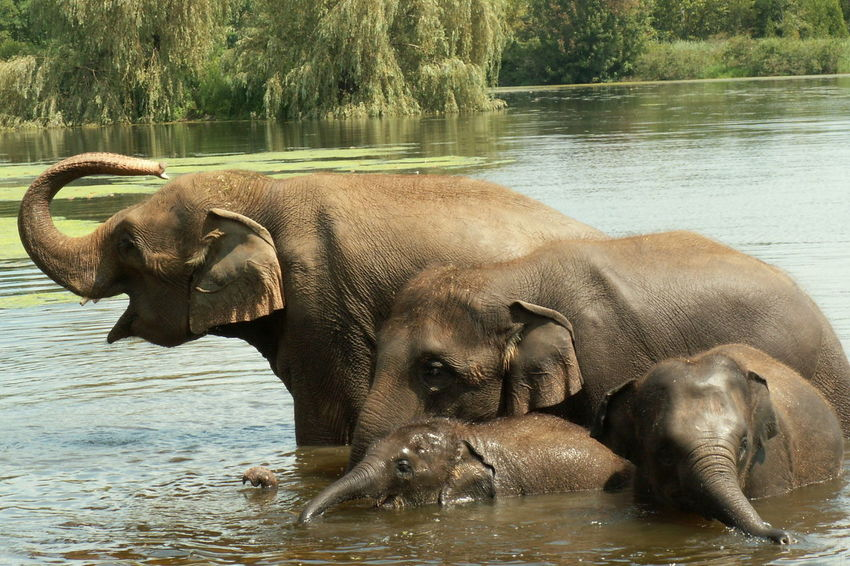 Family Happiness Love Playing Together Animal Family Animal Themes Animal Wildlife Animals In The Wild Day Elephant Mammal Nature No People Outdoors River Togetherness Water Young Animal