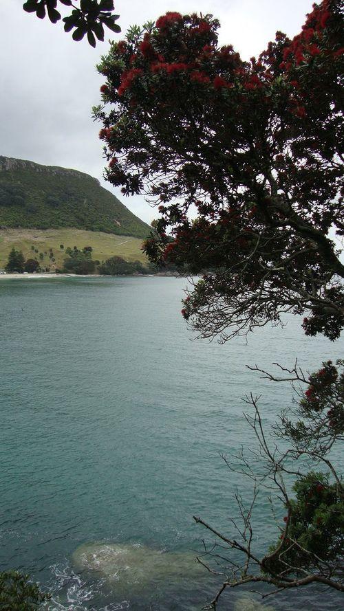2015  Mt Maunganui New Zealand Pohutakawa Tauranga Tree