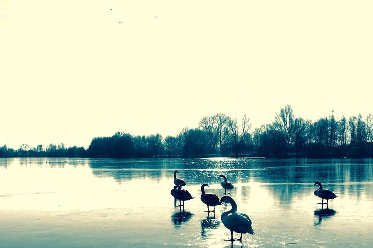 Bird Water Animals In The Wild Lake Tree Clear Sky Animal Themes Outdoors Day Nature Sky Beauty In Nature No People Swan Black Swan EyEmNature Schwäne See Zugefroren Schwan  Beruhigend Animals In The Wild See Reflection Magic EyeEmNewHere Long Goodbye The Great Outdoors - 2017 EyeEm Awards Shades Of Winter This Is Family The Still Life Photographer - 2018 EyeEm Awards