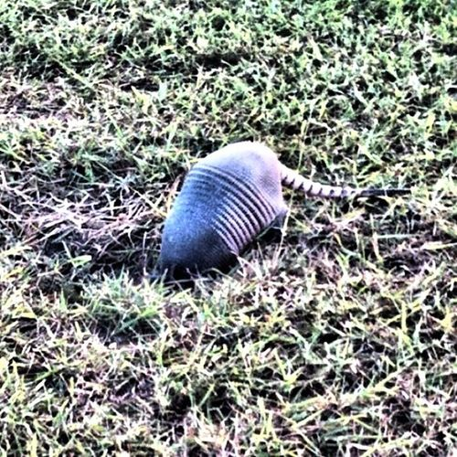 Good morning!!!! Only in Texas will you be able to approach an Armadillo like you were to greet your neighbor. I went for a walk @zenii on Sunday and was greeted by this fella. Texasigers Texaspride riograndevalley instagramtexas riograndevalleyigers