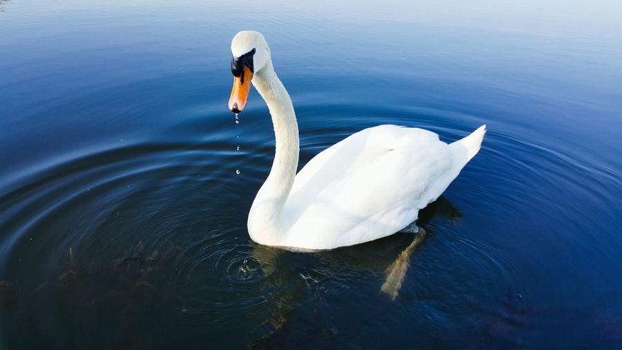 Water Bird Swan Animals In The Wild Lake Swimming Rippled Water Bird One Animal Animal Themes Floating On Water Animal Wildlife Outdoors Day Nature No People Close-up Swans ❤ WeekOnEyeEm Animals In The Wild EyeEmNewHere Tranquility