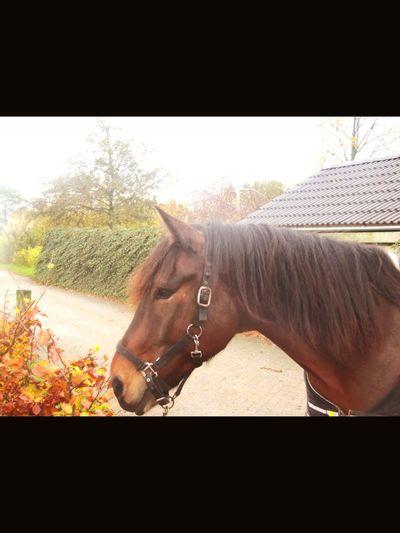 Bullie❤️ Horse Staljasper Horses Paard Pferd Pferde Bullie First Eyeem Photo
