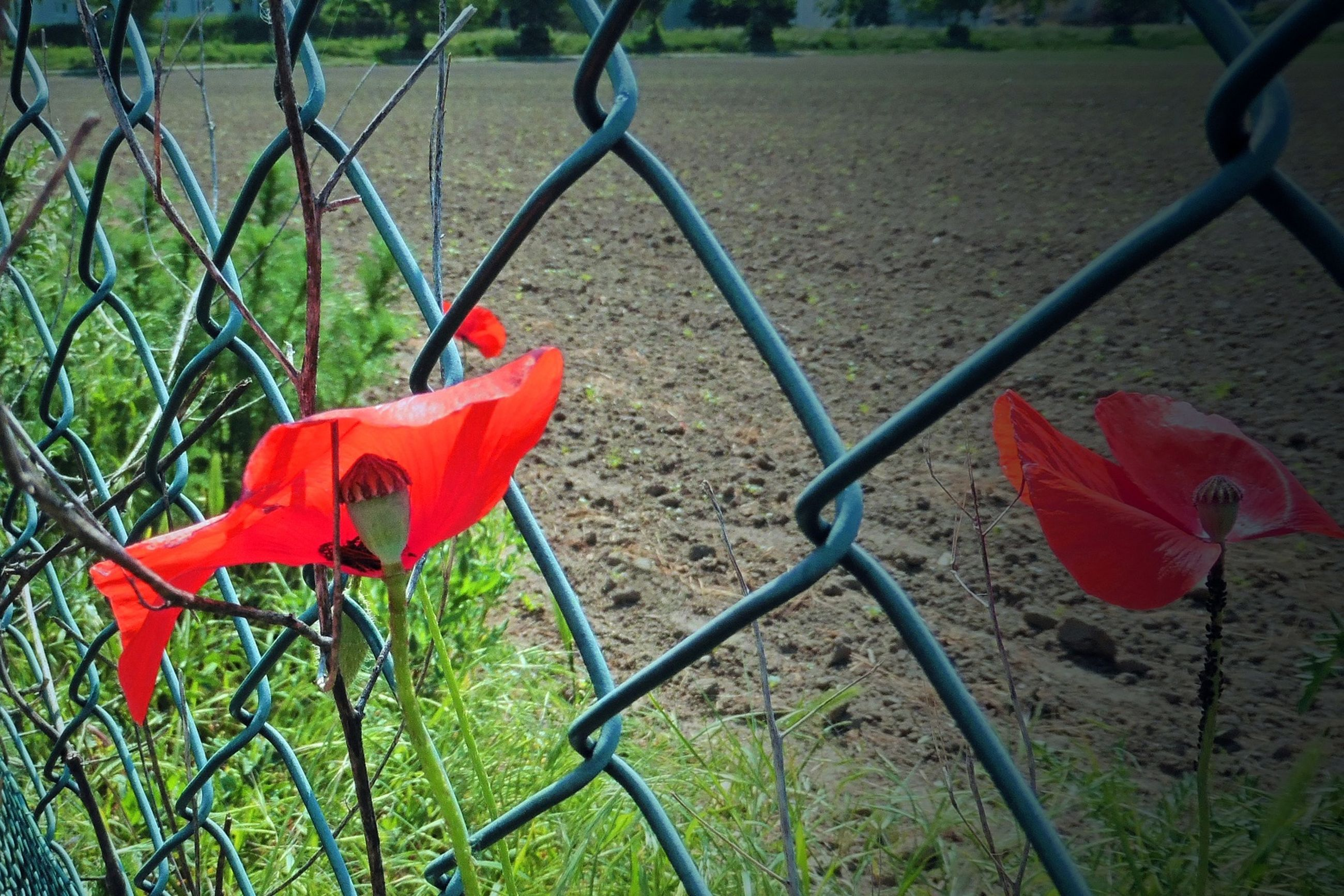 red, fence, chainlink fence, flower, plant, growth, protection, nature, safety, field, metal, fragility, beauty in nature, day, grass, security, park - man made space, close-up, leaf, no people