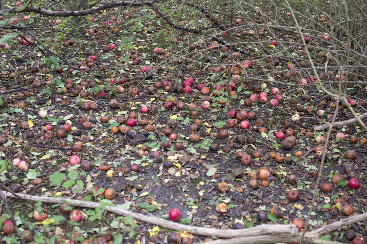 Amager Fælled Autumn Autumn colors Urban Nature Apple Tree Apples Beauty In Nature No People Outdoors Tree
