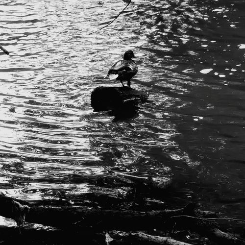 Duck on Log Nature_collection Duck No People Outdoors Close-up Ohio, USA Blackandwhite Photography First Eyeem Photo Duck Photography Wildlife Photography Wildlife & Nature Wildlife Ducks In Water Beauty In Nature EyeEmNewHere United States