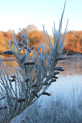Gorse Bush Bare Tree Beauty In Nature Close-up Day Dried Plant Focus On Foreground Frozen Gorse Bush Frozen Seed Pods Gorse Bush Seeds Nature No People Outdoors Plant Scenics Sky Tranquility Tree Winter