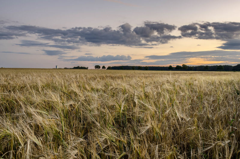 Agriculture Beauty In Nature Cereal Plant Cloud - Sky Crop  Environment Farm Field Grain Growth Land Landscape Nature No People Outdoors Plant Plantation Rural Scene Scenics - Nature Sky Stalk Tranquil Scene Tranquility Wheat Whey