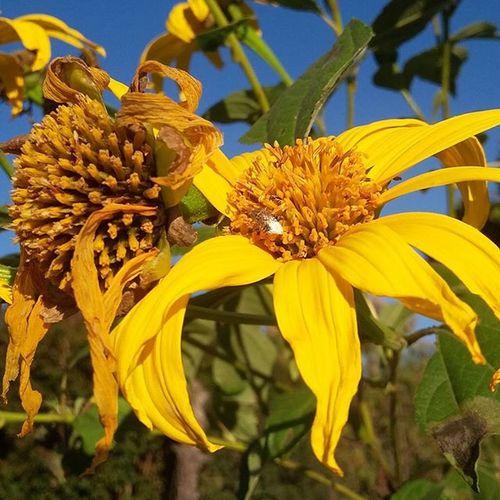 Girassol Girassois Amarelo Azul Verde Instaflower Flowers Semfiltro