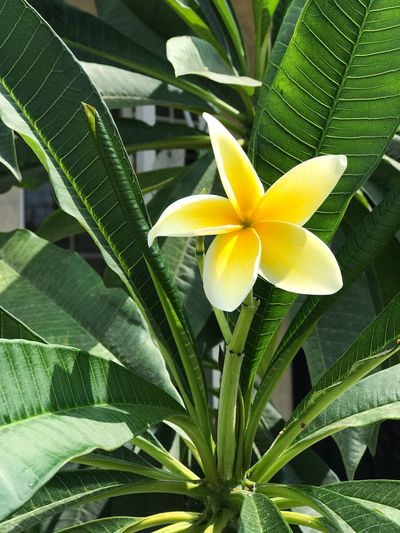 Leaf Flower Growth Green Color Petal Frangipani Beauty In Nature Nature Plant Flower Head Yellow Freshness Fragility Day Blooming Close-up Outdoors No People Plumeria Plumeria Flowers Nature Flower Photography Flower Collection Flowerphotography Flowers