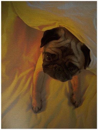 Raimondo Pug Life  Pug Love Bedtime Happiness