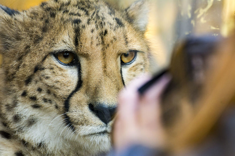 Animal Themes Cheetah Close-up Gepard Look Into My Eyes Make A Picture With Make Love Not War Mammal One Animal Portrait
