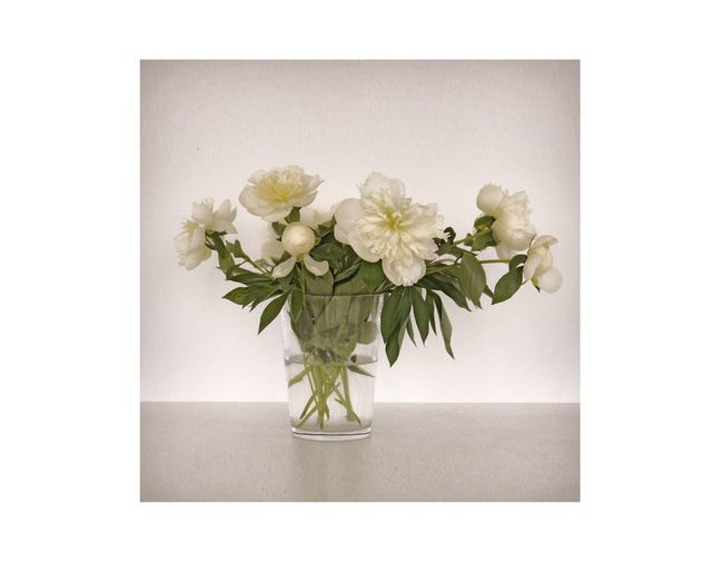 Art Is Everywhere White Peonies Flowers Peonies Bloom Still Life White White Background White Background Indoors White Flower