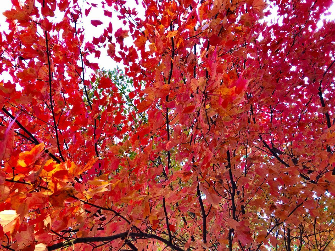 autumn, tree, change, plant, branch, beauty in nature, growth, no people, orange color, nature, low angle view, red, day, plant part, leaf, outdoors, full frame, tranquility, scenics - nature, maple tree, maple leaf, fall, natural condition, tree canopy, autumn collection