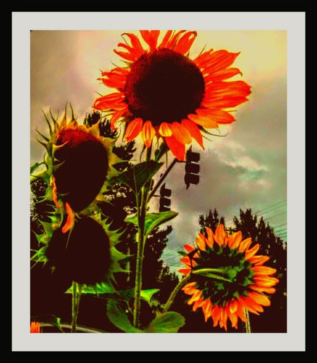 Hanging Out Taking Photos Check This Out Relaxing Enjoying Life Shooting Photos Sunflower 🌻 Sunflower Plant Sunflowers And Clouds Sunflower Magic Sunflowers ♥ Labor Day Sunflowers I 💜sunflowers Sunflower Garden Sunflowerlovers Sunflower🌻 Sunflowers🌻 Sunflower On A Stormyday Wild Sunflowers Flowers Of EyeEm Flower Collections Its All In The Details.... Its All Good Editing Fun Automn Is Here