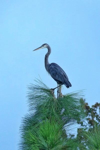 Nature Photography Florida Nature On Your Doorstep Birds Of EyeEm  Eye Em Nature Lover Birds_collection Majestic Creature Majestic Nature Great Blue Herons Nature's Diversities Beauty In Nature Relaxing Art And Nature Wildlife & Nature Outdoors