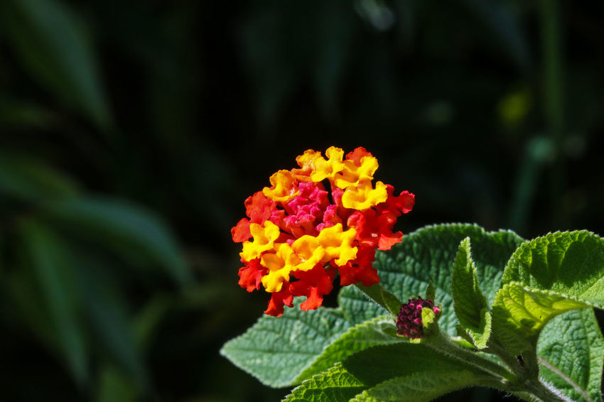 colorful bloom Nature_good Panamá Colors Natureworld_photography Green Natureshots Naturephotography Flor Flores Macrolens Photoart Upclose  Macro Closeup Macro_captures Paulcabada Flower Freshness Beauty In Nature Nature Fragility Plant Flower Head Petal Lantana Growth No People Leaf Green Color Outdoors Day Close-up