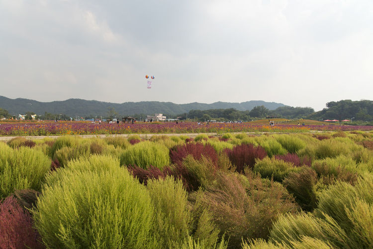 festival of globe amaranth flower with bellvedere at Nari Park in Yangju, Gyeonggido, South Korea Agriculture Beauty In Nature Bellvedere Day Field Flying Growth Landscape Mid-air Mountain Nature No People Outdoors Plant Scenics Sky Tree