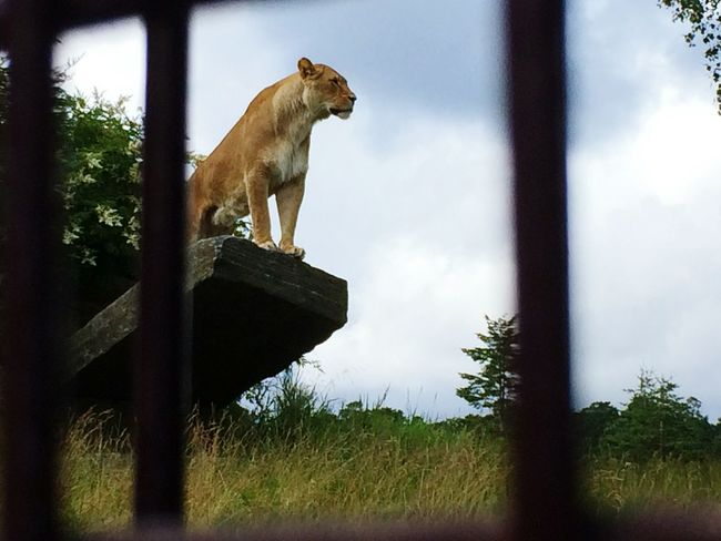 Lion Zoo Carnivore Feline Big Cats Animals