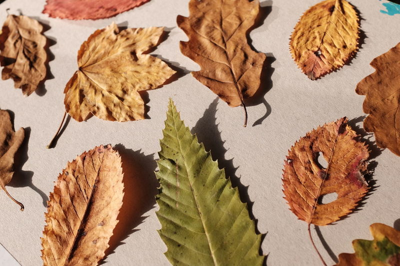 Autumn Change Close-up Day Fragility High Angle View Leaf Maple Maple Leaf Nature No People Outdoors Pencil Shavings