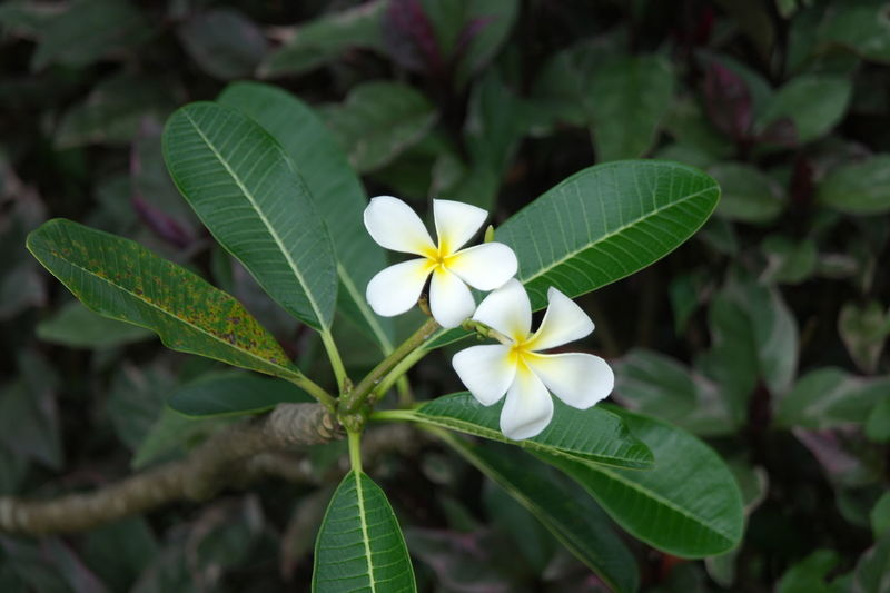 Flower in Bentota Beauty In Nature Flower Flowering Plant Freshness Leaf Nature Plant Plant Part EyeEmNewHere