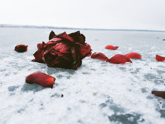 Close-Up Of Frozen Red Rose On Snow