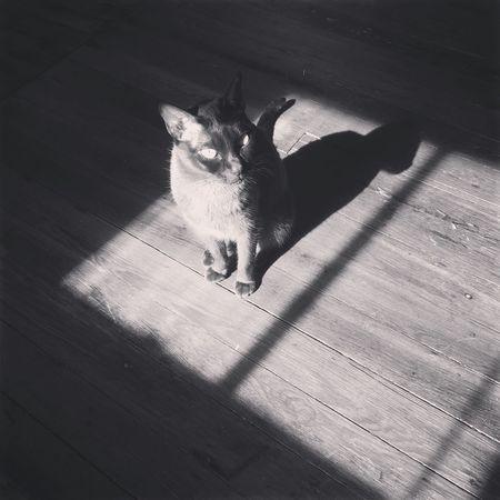 Burmese cat enjoying sun on the floor. Cat Burmese Cat Sun Bathing