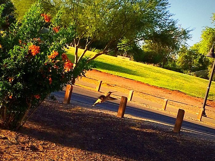 Humming bird in mid flight Shot, these buggers are fast😊 Me Alone West Wetlands, Yuma, AZ Morning Walk Hummingbird In Flight Humming Bird Photography IPhone Photography Fun With IPhone Plant Tree Sunlight Nature Day Park Tranquility No People Beauty In Nature Tranquil Scene Outdoors