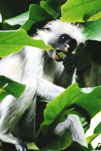Monkey Zanzibar Monkey Colobus Fruits Leaf Tanzania Zanzibar Animal Themes Animal One Animal Mammal Plant Part Leaf Vertebrate Animal Wildlife Animals In The Wild Plant Close-up Focus On Foreground Eating Branch Sitting Portrait Primate No People