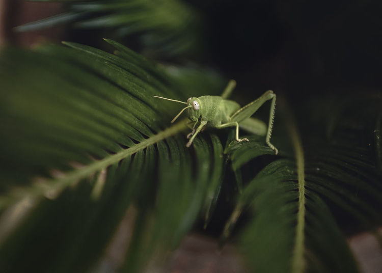 Cricket Animal Animal Body Part Animal Themes Animal Wildlife Animals In The Wild Beauty In Nature Close-up Cricket Day Green Color Growth Insect Invertebrate Leaf Nature No People One Animal Outdoors Plant Plant Part Selective Focus