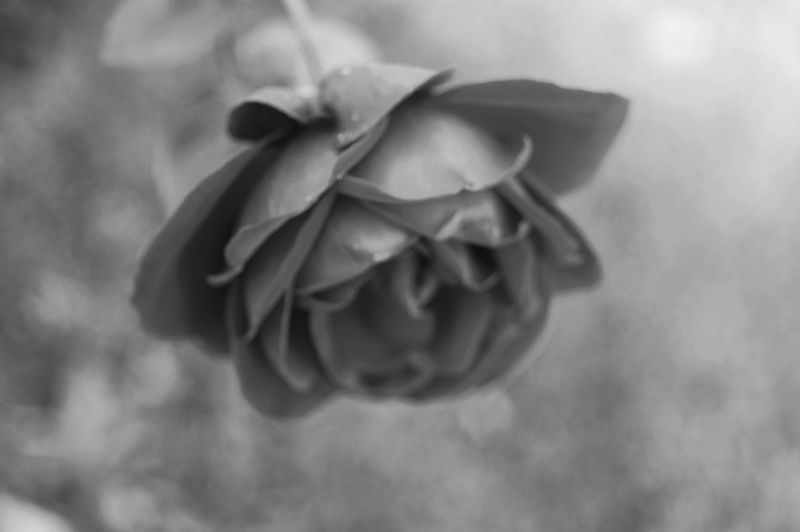 Beautiful in black and white. Black And White Black And White Photography Nature Nature Portraits Gray Background Nikon D3200 Nikon Photography Lines Shadows Patterns Background Botany Outdoors Flower Head Flower Petal Close-up Single Rose Blooming In Bloom