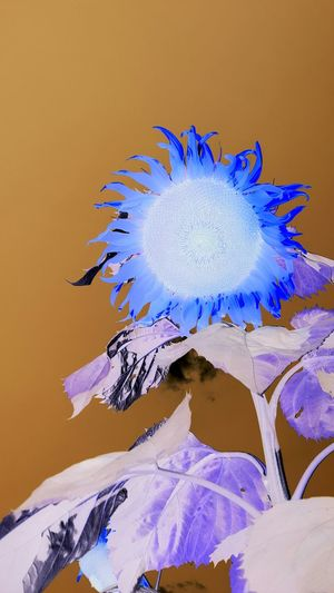 Blue Studio Shot No People Close-up Flower Day Outdoors Flower Head Sunflower Beauty In Nature Negative Effect