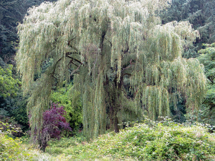 Weeping willow near Hunt Club EyEmNewHere Green Horizontal Morning Nature Oregon Tranquility Tree Weeping Willow Lush Foliage No People Non-urban Scene Outdoors Peaceful Scenics - Nature Shade Tree Silvery Spring Springtime Willow