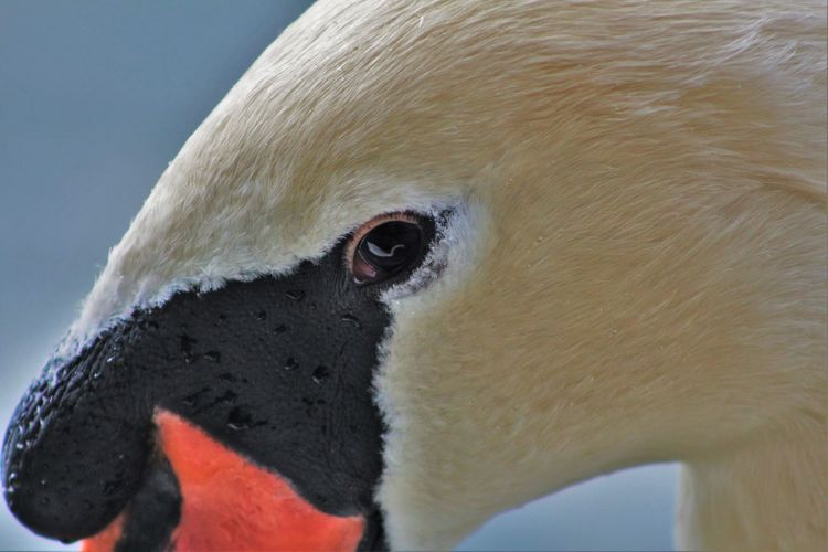 Animal Body Part Animal Eye Animal Head  Animal Nose Animal Themes Animals In The Wild Beak Beauty In Nature Bird Close-up Extreme Close Up Focus On Foreground Looking Nature No People One Animal Outdoors Selective Focus Swan Reflection Wildlife