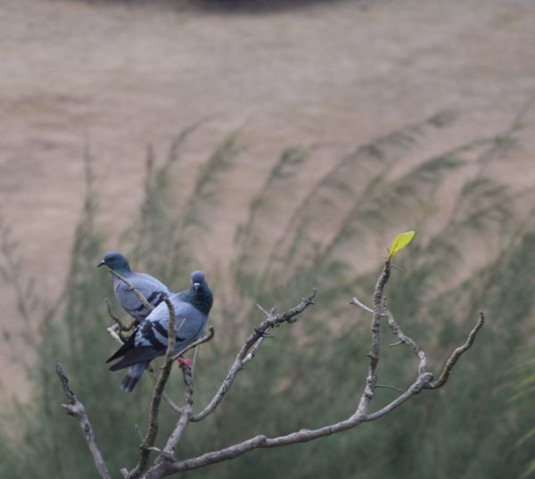 Pair of pigeons on a high tree branch Bird Perching Focus On Foreground No People Plant Nature Day Outdoors Branch Tree Close-up Beauty In Nature Bird Theme Bird Themes Pigeons