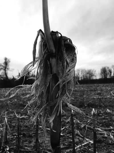 Field Sky Nature Outdoors No People Day Beauty In Nature Close-up Cornstalk Farming Blackandwhite Agriculture Landscape