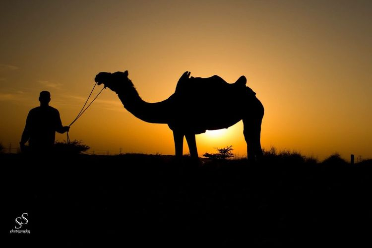 Beatutuful evening in Rajasthan, India Silhouette Sunset Camel