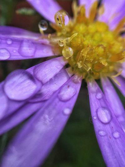 Flowers Macro Nature Nature Is Art Color Of Life Macro Photography Purple Flower Fresh On Eyeem  Raindrops On Flowers Australian Flower Australian Wildflower