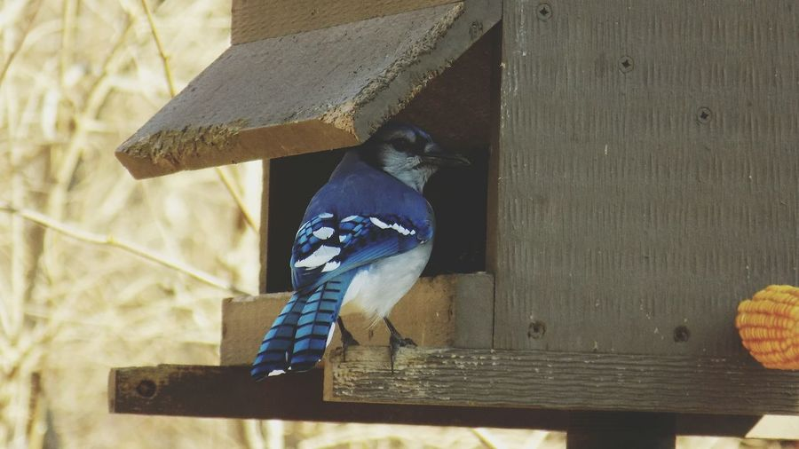Rear view of blue jay perching on birdhouse