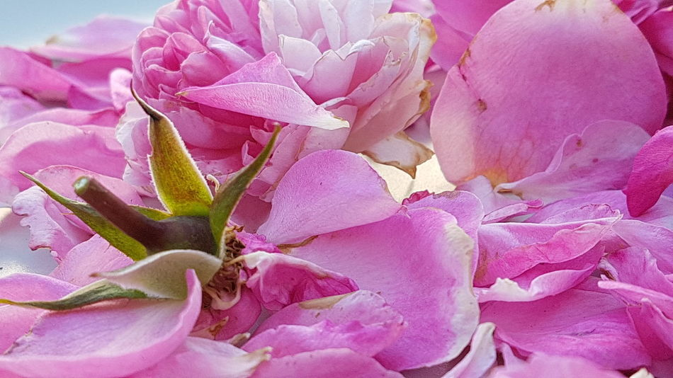 Faded Roses Pink Color Flower Petal Nature No People Flower Head Close-up Beauty In Nature Plant Fragility Backgrounds Pastel Colored Outdoors Freshness Garden Photografie Outdoors Photograpghy  Full Frame Composition