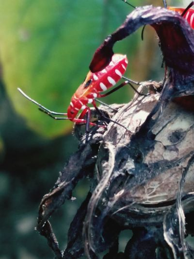 Nature Outdoors Insect Redbug Whatisit Beauty In Nature Buggy Bug