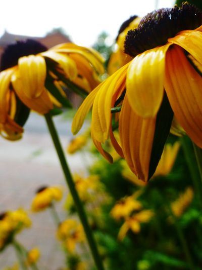 Vivid Colours  43 Golden Moments Nature Nature_collection Flowers_collection Outdoors Photograpghy  Outdoors Summer Black Eyed Susan Black Eyed Susans Golden Petals Macro Macro_collection Macro Beauty Macro Nature