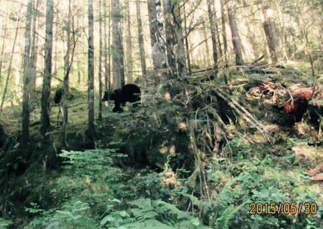 Black bear startled and ran across road and up the hillside