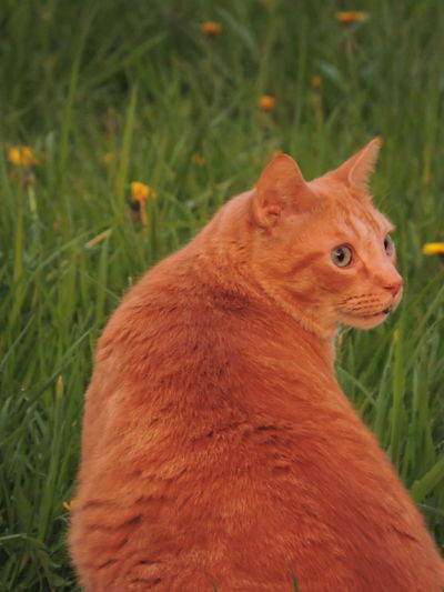 Sunlit Glow Animal Themes Animal One Animal Mammal Grass Field Land Domestic Animals Domestic Vertebrate Pets Plant Cat Feline No People Domestic Cat Nature Looking Day Close-up Whisker Animal Eye