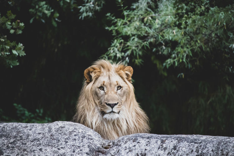 Portrait of lion sitting on rock against trees in forest