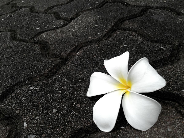 Plumeria flower fall down on the rock floor, plumeria flower pure white on the rock floor black color background, Hight plumeria. Plumeria Flowers Plumeria Frangipani Flower Frangipani Flower Fragility White Color Flower Head Petal Close-up No People Beauty In Nature Freshness Nature On The Rocks Fall Down Ground White Flower Spring Flower Collection White Flowers Pure White Flower Pure White Black Background EyeEmNewHere Investing In Quality Of Life The Week On EyeEm
