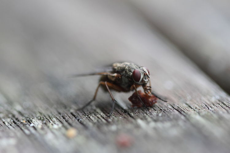Close-up of housefly feeding on table