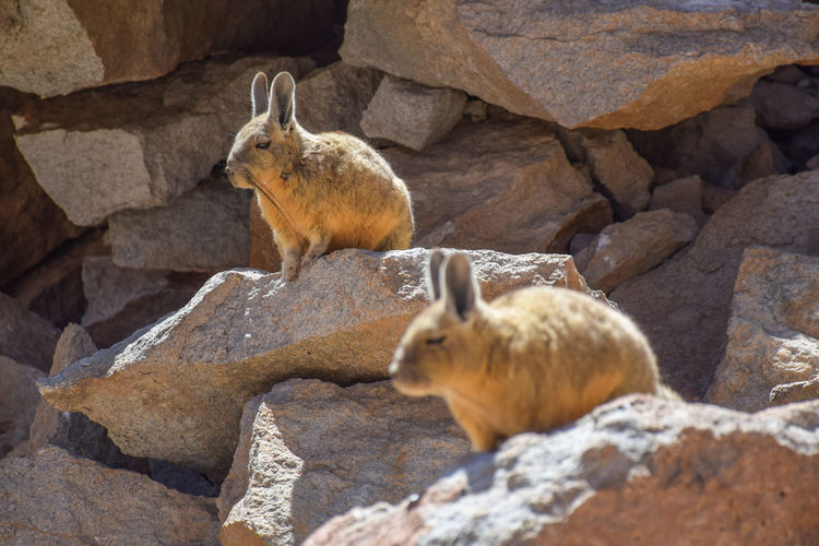 View of sheep on rock