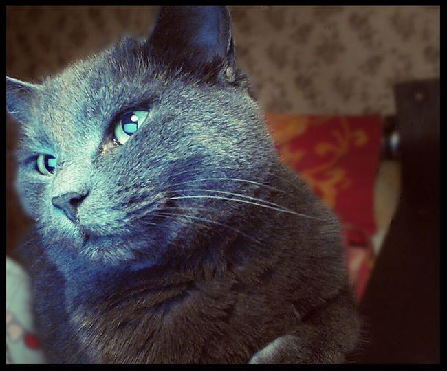 Cat Russian