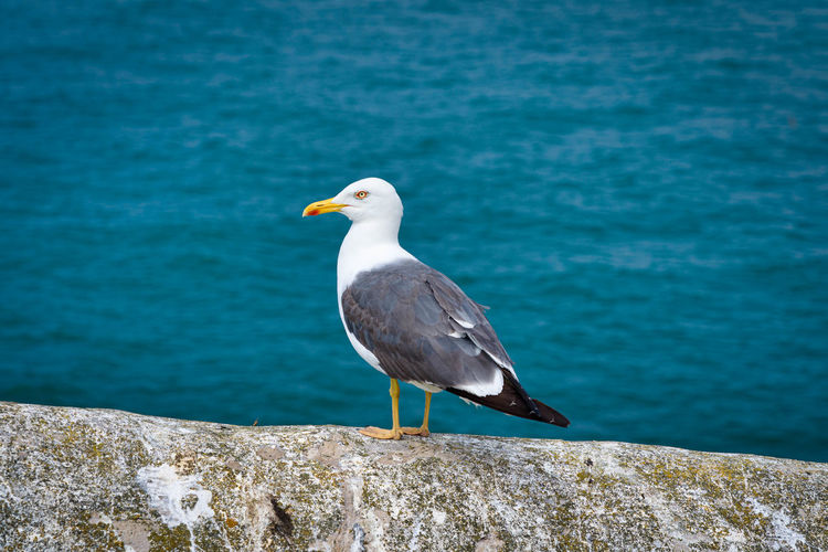 Seagull perching on rock by sea