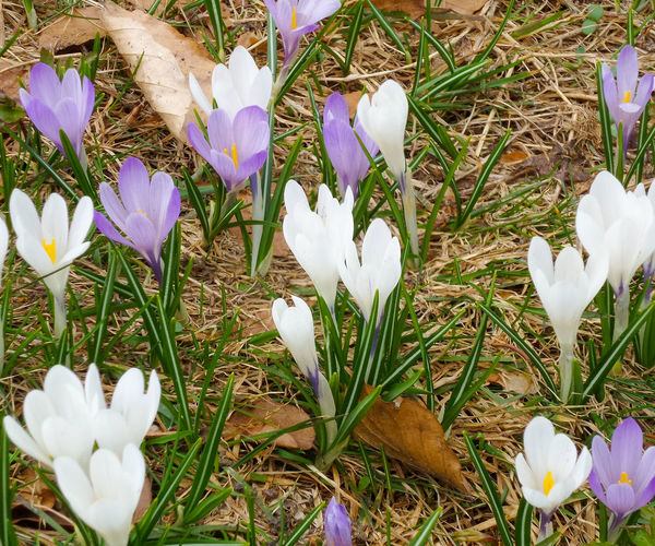 High angle view of white crocus flowers on field